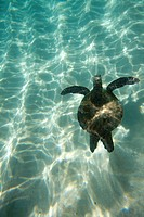 Turtle Swimming On Sandy Bottom