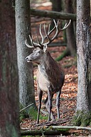 Red deer Cervus elaphus, Daun wildlife park, Rhineland_Palatinate, Germany, Europe