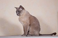 Tonkinese cat breed, tomcat for breeding