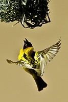Male Black Headed Weaver inspecting nest