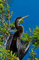 An anhinga bird preening and drying its wings at the Audubon bird rookery in Venice, Florida, USA