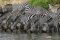 Zebras drinking water from river