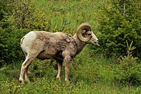 Bighorn sheep Ovis Canadensis Rams foraging on hillside