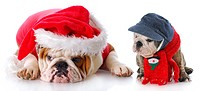 english bulldog santa with young puppy with reflection on white background