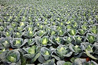 Pointed sweetheart cabbage growing on a field, Germany, Europe