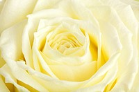 close up of cream colored rose blossom