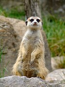 Meerkat WatchingScientific Classification: Suricata Suricatta