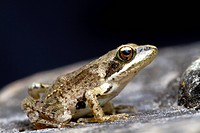 Agile Frog (Rana dalmatina), Marchfeld, Lower Austria, Austria, Europe