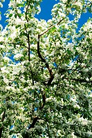 Flower of an apple_tree against the sky
