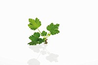 Leaves of Gooseberry (Ribes grossularia)
