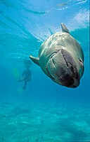 Snorkelers with dugong (Dugong dugong), Borneo, Malaysia, Indo-Pacific Ocean, Asia