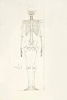 Illustration of a human skeleton
