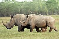 White Rhinos walking fast at the Lake Nakuru