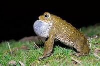 Natterjack toad Bufo calamita singing in a pond of Lozoyuela, Madrid, Spain