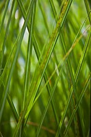 Blades of Green Grass, Close_Up