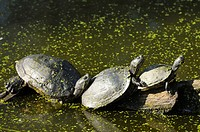Three red-eared sliders trachemys scripta elegans from Florida taking sun on rock, Rhodes animal´s park, Moselle, France, Europe