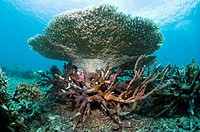 Artificial reef. View of corals growing on an artificial reef. This reef was damaged in the 1970s. Ceramic structures were placed on the reef to encou...