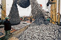 Emptying fishing nets on a fishing trawler in the North_East Atlantic.