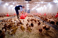 Chicken farming. Farmer adjusting feeding equipment red over chicken runs inside a farm shed. These hens, a breed of the domesticated chicken Gallus d...