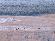 A herd of Yezo Deers and wetlands in winter