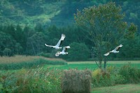 Flying red_crowned cranes
