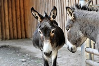 Two donkeys Equus asinus, Lohberg, Bavaria, Germany, Europe
