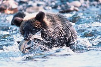 Brown bears holding salmon