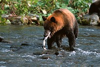 Humpback salmon catch brown bears