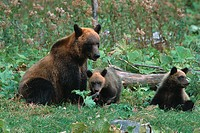 Parental brown bears
