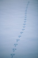 Mountain hare tracks