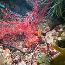 Gill net of Japanese spiny lobster