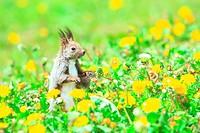 Hokkaido Squirrel Sciurus vulgaris orientis in Dandelion field