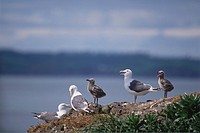 Slaty_backed Gull family