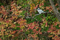Crested Kingfisher and autumn leaves