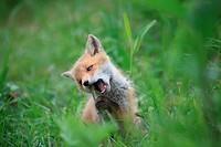 Ezo red fox
