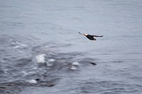 Flying Tufted puffin