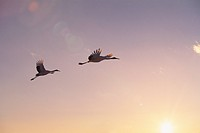 Red_crowned cranes flying in the evening sky