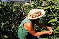 Gardener working in the vanilla production, Vanilla Orchid (Vanilla planifolia), greenhouse, Moorea, Windward Islands, Society Islands, French Polynes...