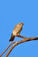 American Kestrel (Falco sparverius), Florida, USA