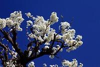 Japanese plum Medicinal Use antitussive, medicinal liquor