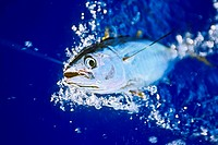 yellowfin tuna or ahi in Hawaiian, Thunnus albacares, juvenile, shibi or shibiko in Hawaiian, offshore, Kona Coast, Big Island, Hawaii, USA, Pacific O...