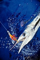 short-billed spearfish, Tetrapterus angustirostris, hooked with Hawaiian jet head trolling lure, offshore, Kona Coast, Big Island, Hawaii, USA, Pacifi...