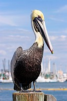 An adult Brown Pelican, Pelecanus occidentalis, in non breeding plummage standing on a piling at ac marina  Fort Myers, Florida, USA