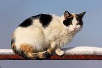 piebald cat on the fence