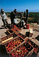 Israeli soldiers of ´Nahal´ Argaman, in the Jordan valley, arepicking tomatoes. Argaman Cisjordan _ occupied territories, 1971.
