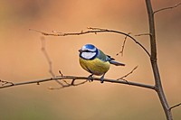 Blue Tit (Parus caeruleus), Thuringia, Germany, Europe