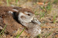 Egyptian Goose, gosling