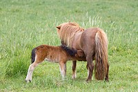 Shetland ponies (Equus ferus caballus), mare with a foal