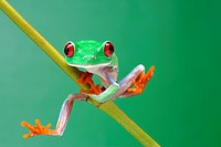 Red-eyed Tree Frog (Agalychnis callidryas) climbing a branch