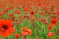 Field of Poppies (Papaver rhoeas), Eifel, North Rhine-Westphalia, Germany, Europe, PublicGround